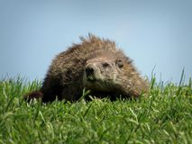 Marmotta in erba verde Fotografie Stock Libere da Diritti