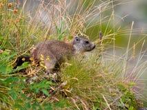 Marmotta europea selvaggia Fotografie Stock Libere da Diritti