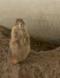 Marmotta femminile che sta sul suolo della cresta fotografia stock