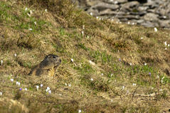 Marmotta fra l'erba Immagini Stock