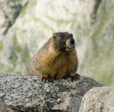 Marmotta gonfiata colore giallo Fotografie Stock Libere da Diritti