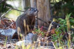 Marmotta gonfiata giallo Immagine Stock