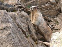 Marmotta Hoary Immagini Stock Libere da Diritti