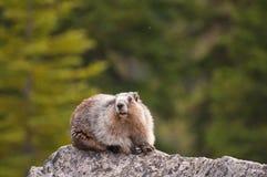 Marmotta Hoary Immagine Stock