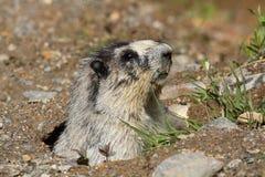 Marmotta Hoary Fotografia Stock