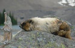 marmotta hoary fotografia stock libera da diritti