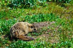 Marmotta Hoary della montagna Immagini Stock Libere da Diritti