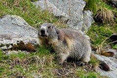 Marmotta in Hohe Tauern Fotografia Stock
