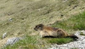 Marmotta in Hohe Tauern Immagini Stock Libere da Diritti