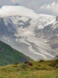 Marmotta in Hohe Tauern Immagini Stock