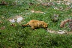 Marmotta intorno all'area vicino al lago tso Moriri in Ladakh, India Immagine Stock Libera da Diritti