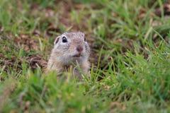 Marmotta (ludovicianus del Cynomys) Immagini Stock