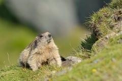 Marmotta (Marmota) Fotografie Stock Libere da Diritti