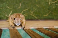 Marmotta marrone sveglia che scala su una gabbia di legno Fotografia Stock