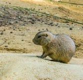 Marmotta molto sveglia su una roccia nella fine sul ritratto adorabile dell'animale del roditore fotografia stock libera da diritti