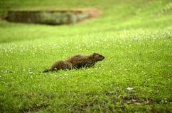 Marmotta (monax del marmota) Immagini Stock Libere da Diritti