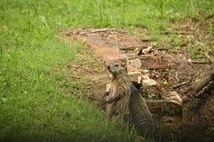 Marmotta (monax del marmota) Fotografie Stock Libere da Diritti
