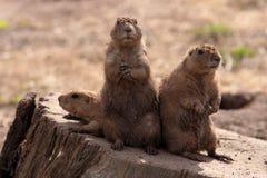Marmotta munita il nero - ludovicianus del Cynomys Immagini Stock