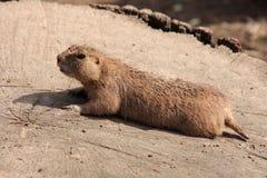 Marmotta munita il nero - ludovicianus del Cynomys Fotografie Stock