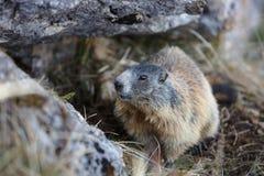 Marmotta, nascosta nella sua tana sotto una roccia Fotografia Stock