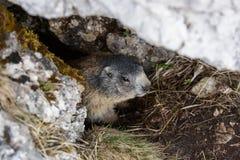 Marmotta, nascosta nella sua tana sotto una roccia Fotografia Stock Libera da Diritti