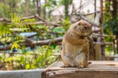 Marmotta nel giardino fotografia stock libera da diritti