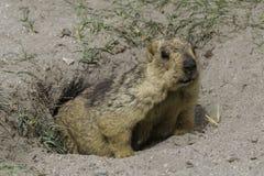 Marmotta nel ladakh Fotografia Stock Libera da Diritti