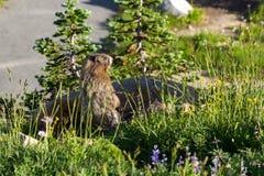 Marmotta nell'ambito di luce solare Fotografia Stock Libera da Diritti