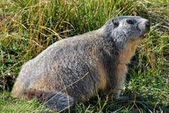 Marmotta nell'erba Immagini Stock Libere da Diritti