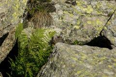 Marmotta nell'erba Fotografia Stock Libera da Diritti