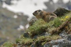 Marmotta nella regolazione alpina Fotografie Stock