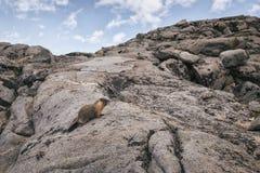 Marmotta nella sierra Nevada Mountains Immagini Stock