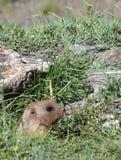 Marmotta nella sorveglianza del foro Primo piano Fotografia Stock