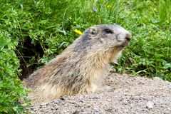 Marmotta nelle alpi Immagini Stock Libere da Diritti