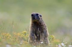 Marmotta nelle alpi francesi Fotografie Stock