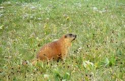 Marmotta nelle montagne su erba Immagini Stock Libere da Diritti