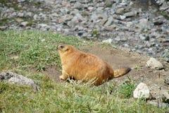 Marmotta nelle montagne su erba verde Fotografia Stock Libera da Diritti