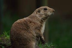 Marmotta nera Immagine Stock