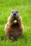 Marmotta nordamericana Immagini Stock