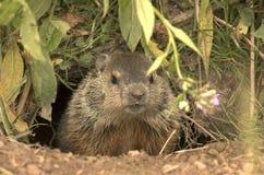 Marmotta nordamericana Fotografie Stock Libere da Diritti