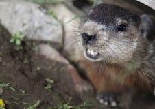 Marmotta nordamericana Fotografia Stock