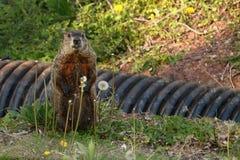 Marmotta nordamericana all'erta Fotografie Stock