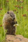 Marmotta nordamericana che mangia fiore Fotografia Stock Libera da Diritti