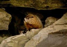 marmotta nordamericana del groundhog Fotografie Stock Libere da Diritti