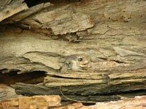 Marmotta nordamericana in libro macchina fotografia stock libera da diritti