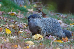 Marmotta nordamericana nelle foglie Immagine Stock Libera da Diritti
