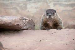 Marmotta o marmotta nordamericana Immagine Stock Libera da Diritti