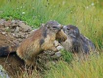 Marmotta quicky Fotografia Stock Libera da Diritti