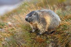 Marmotta in rugiada di mattina Fotografie Stock Libere da Diritti