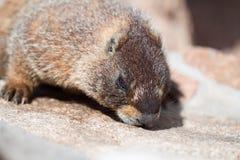 Marmotta selvaggia Immagini Stock Libere da Diritti